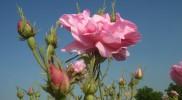 10-str-roses (8)